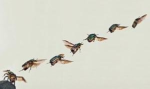 Cetonia aurata take off composition 05172009.jpg