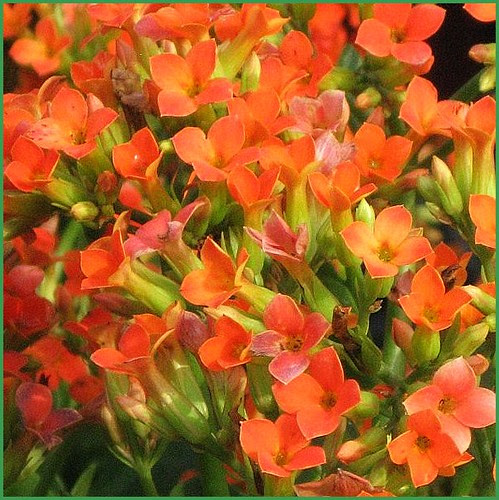Orange Kalanchoe A Succulent Plant With A Profusion Of