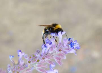 El mundo se queda sin abejorros