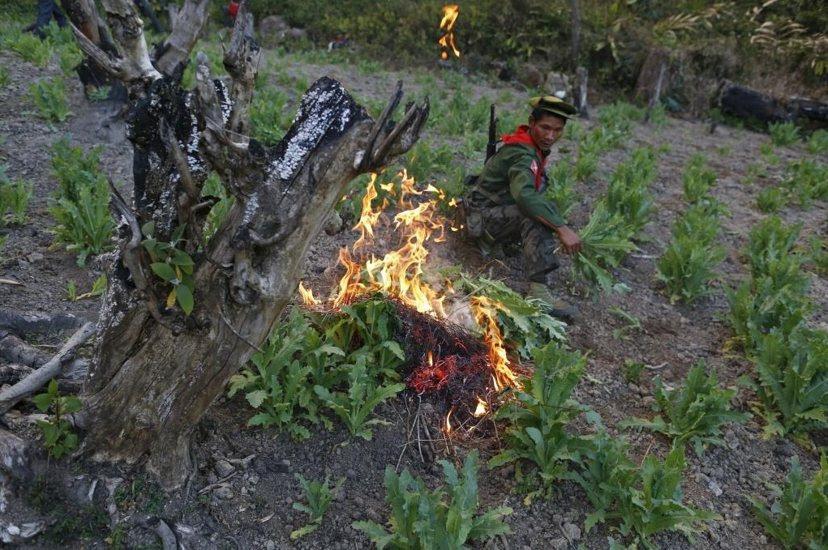 多年來緬甸政府一直嘗試把國家從毒品中解放出來,不停地進行山區巡邏、追捕毒販、破壞...