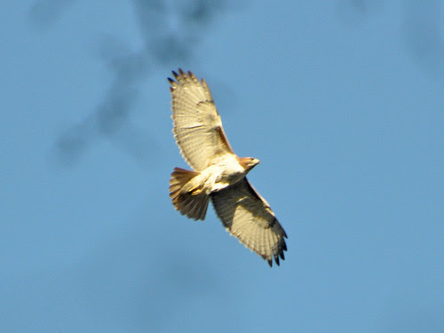 Red-Tail over Morningside