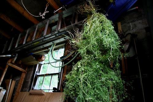 coriander drying