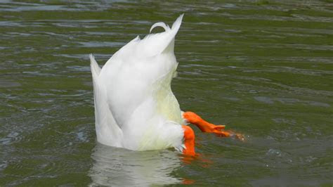funny goose picture