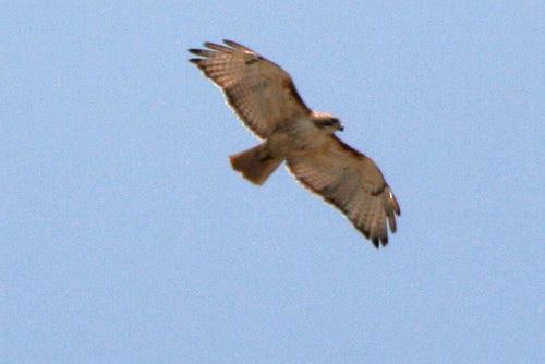 alewife hawks 017