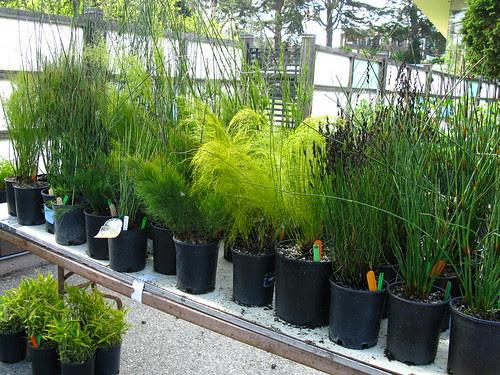 Restionaceae
