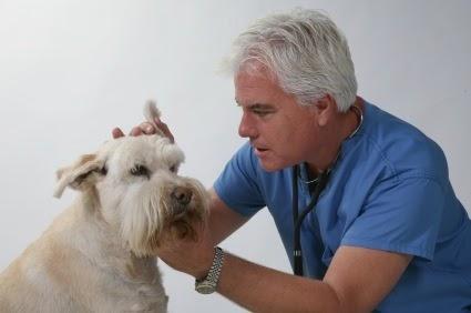 La otitis en perros síntomas y tratamiento