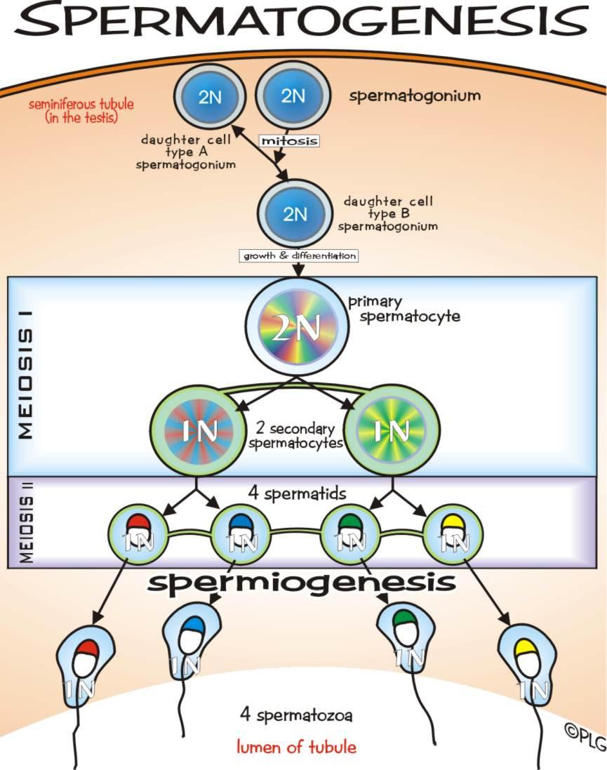 Pembelahan Sel Mitosis Dan Meiosis Pusat Biologi