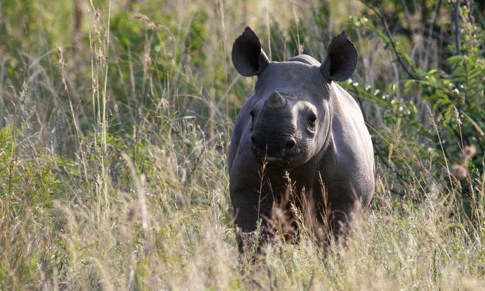 Black rhino calf on a brrep site credit pip mortlock