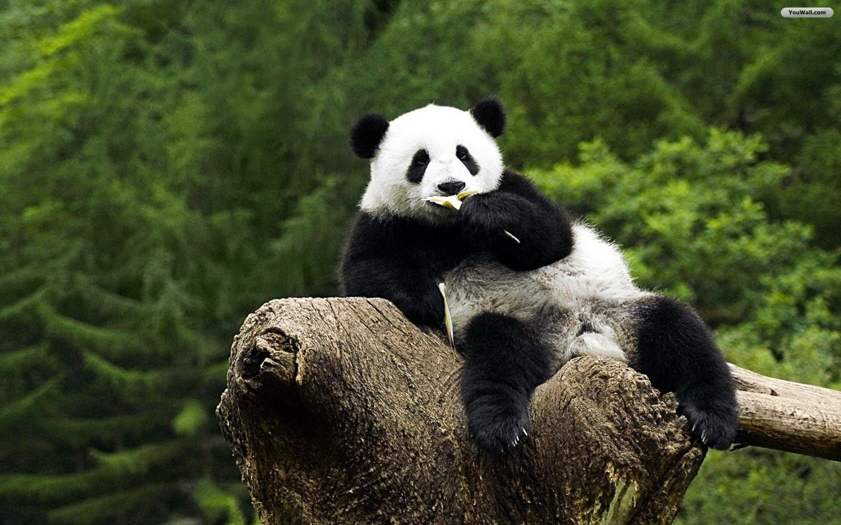 Panda Background Hd Wallpaper  Important Wallpapers