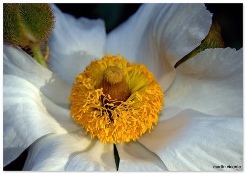 Romneya Coulteri (papaveraceae)