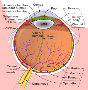 Schematic diagram of the human eye in english