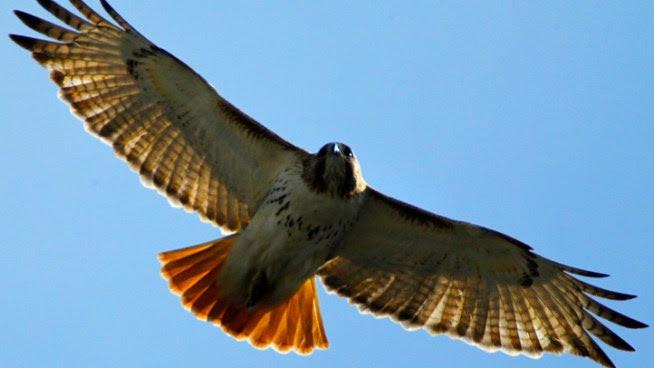 Hawk Attacks, Knocks Woman Unconscious
