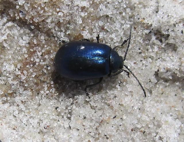Blå Ellebladbille (Agelastica alni)