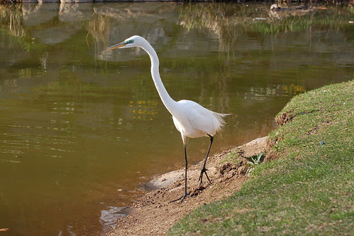 Morningside Great Egret