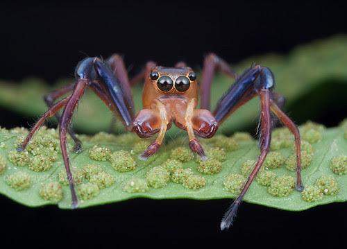 Jumping spider...IMG_5250 stk copy