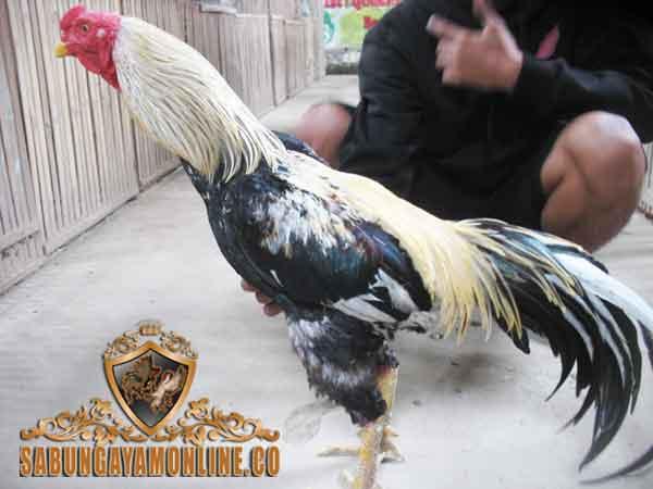 81 Gambar Ayam Wido Paling Hist