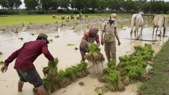 Cambodian farmers prepare seedlings at a paddy rice farm north of Phnom Penh