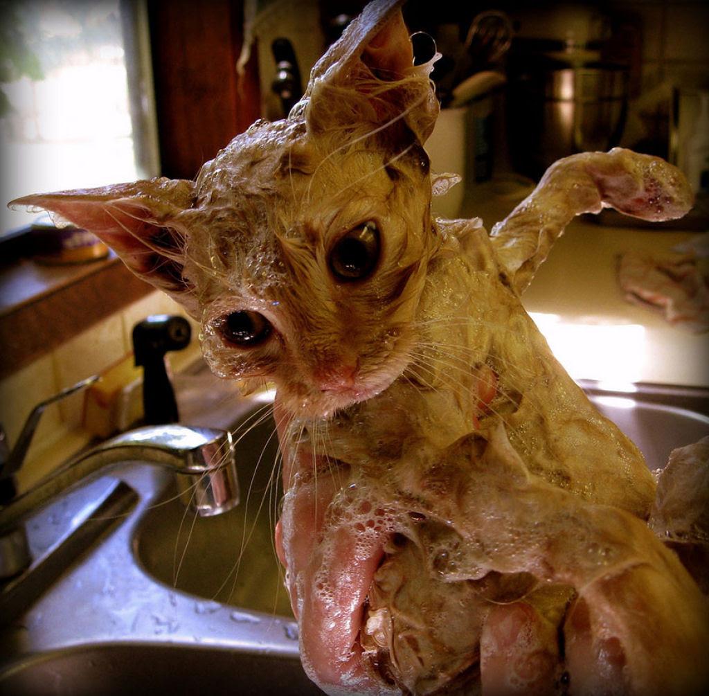 Fotografias engraçadas de gatos tomando banho 21