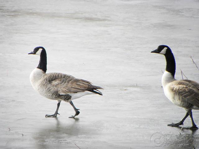 DSCN4779e Geese