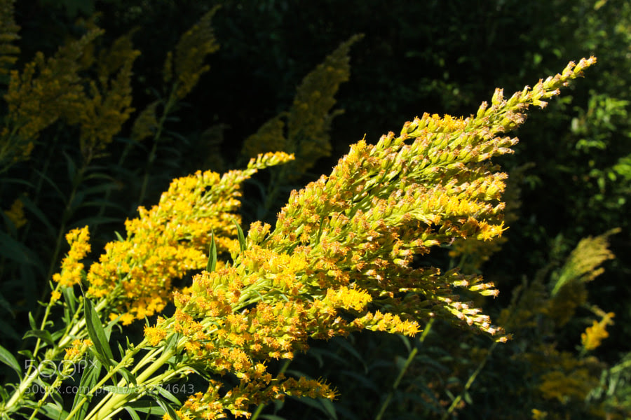 Photograph Goldenrod by Andy Zahn on 500px
