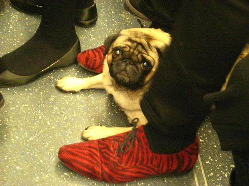 Pug on the Tube