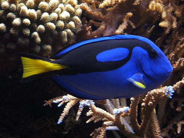 paracanthurus blue tang fish