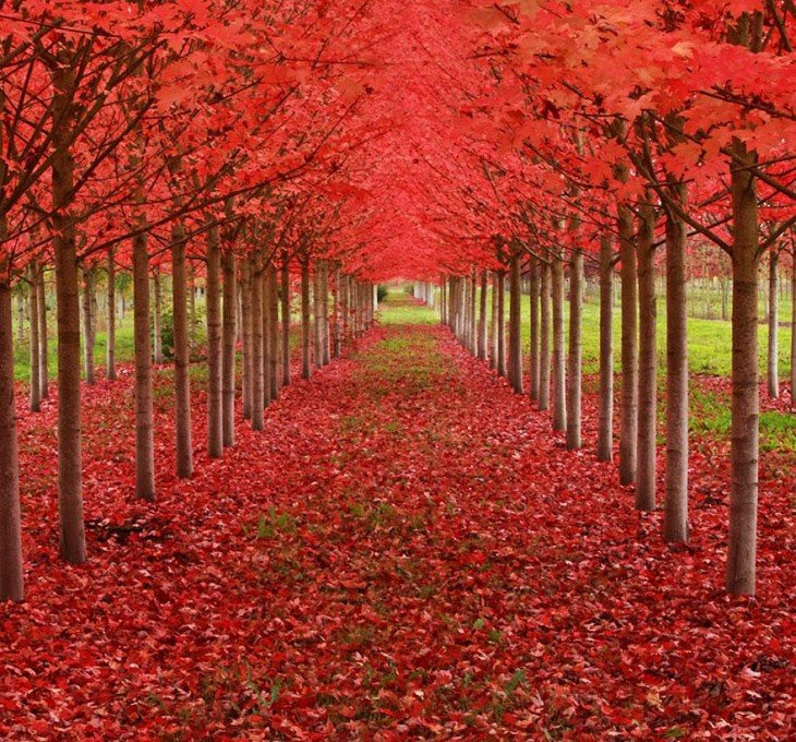 Tunel de arboles de Maple en oregon estados unidos