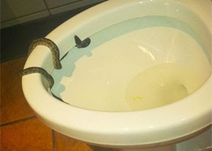 Imagem de arquivo mostra cobra em privada (Foto: Foto Ilustrativa)