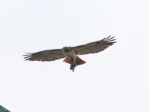 Red-Tailed Hawk over Morningside Drive