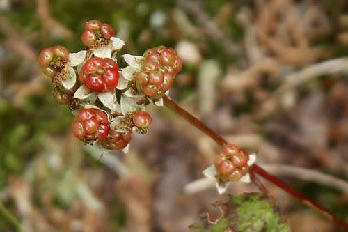 Ripening raspberries (1)
