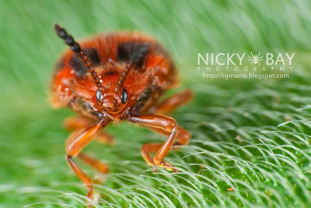 Ladybird Mimic Beetle (Coleoptera) - DSC_2281