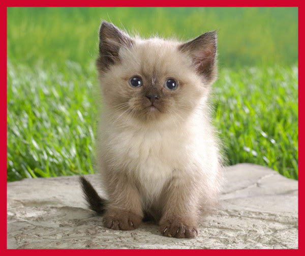 cutest cat breeds (8)