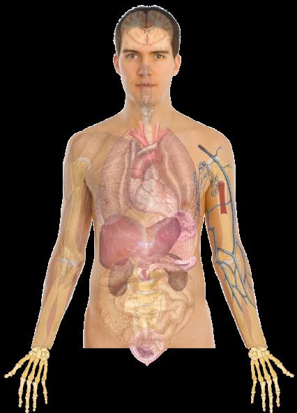 human body anatomy basics no lines hi