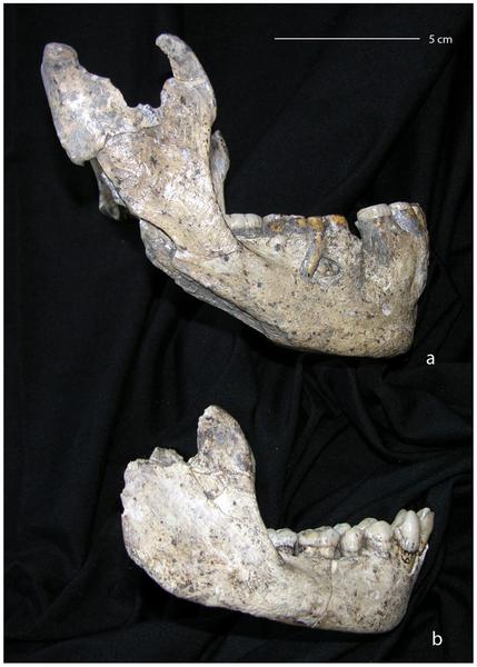 Figura 1 Vista lateral de dos mandíbulas de Dmanisi.
