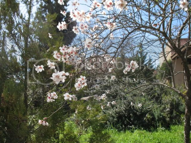 searching for almond blossoms 2