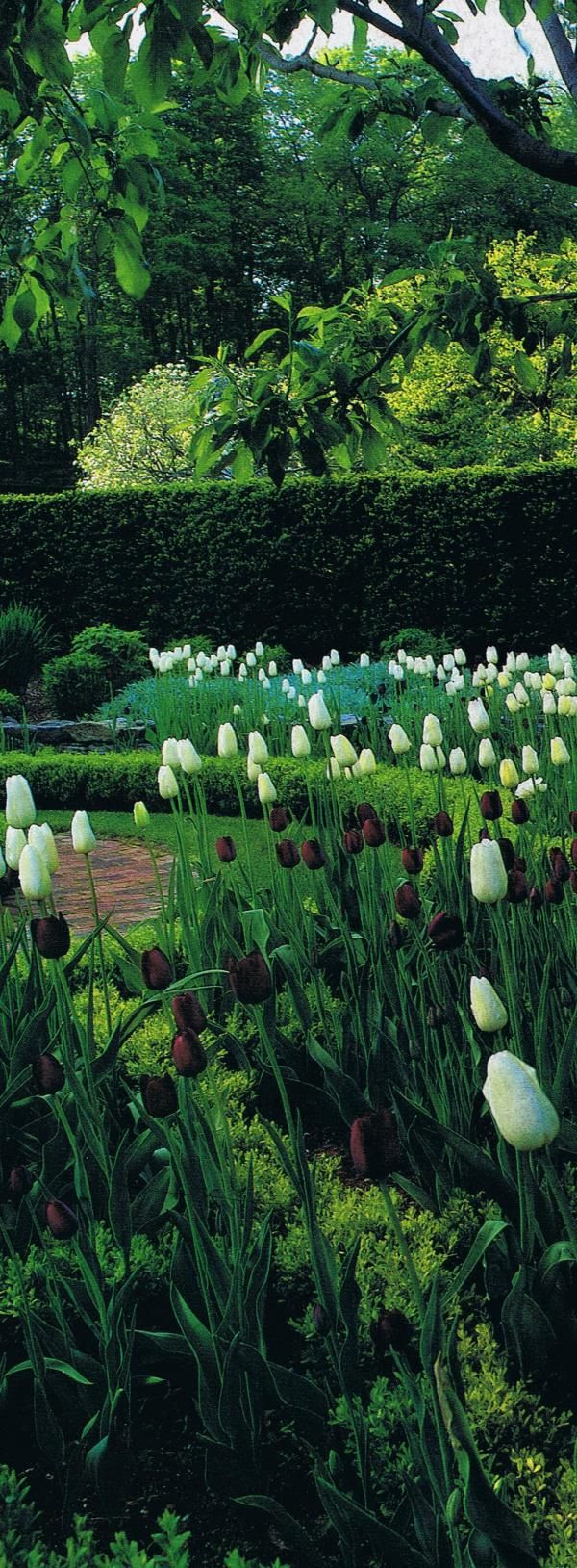 """Queen of the Night"" and ""Maureen"" hybrid tulips    in clipped parterres in Oscar de la Renta's garden…"