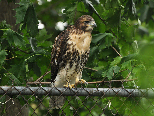 Cathedral Red-Tail Fledgling (#1?)