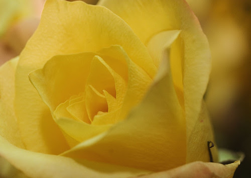 my yellow rose