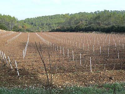 vignes sans les feuilles.jpg