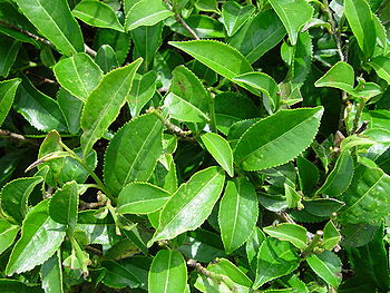 Español: Closeup of leaves of tea plant Camell...