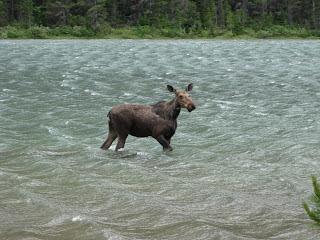 Fishercap moose