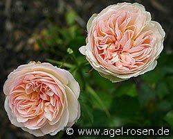 Bild der Rose 'Pastella' (Edelrose)