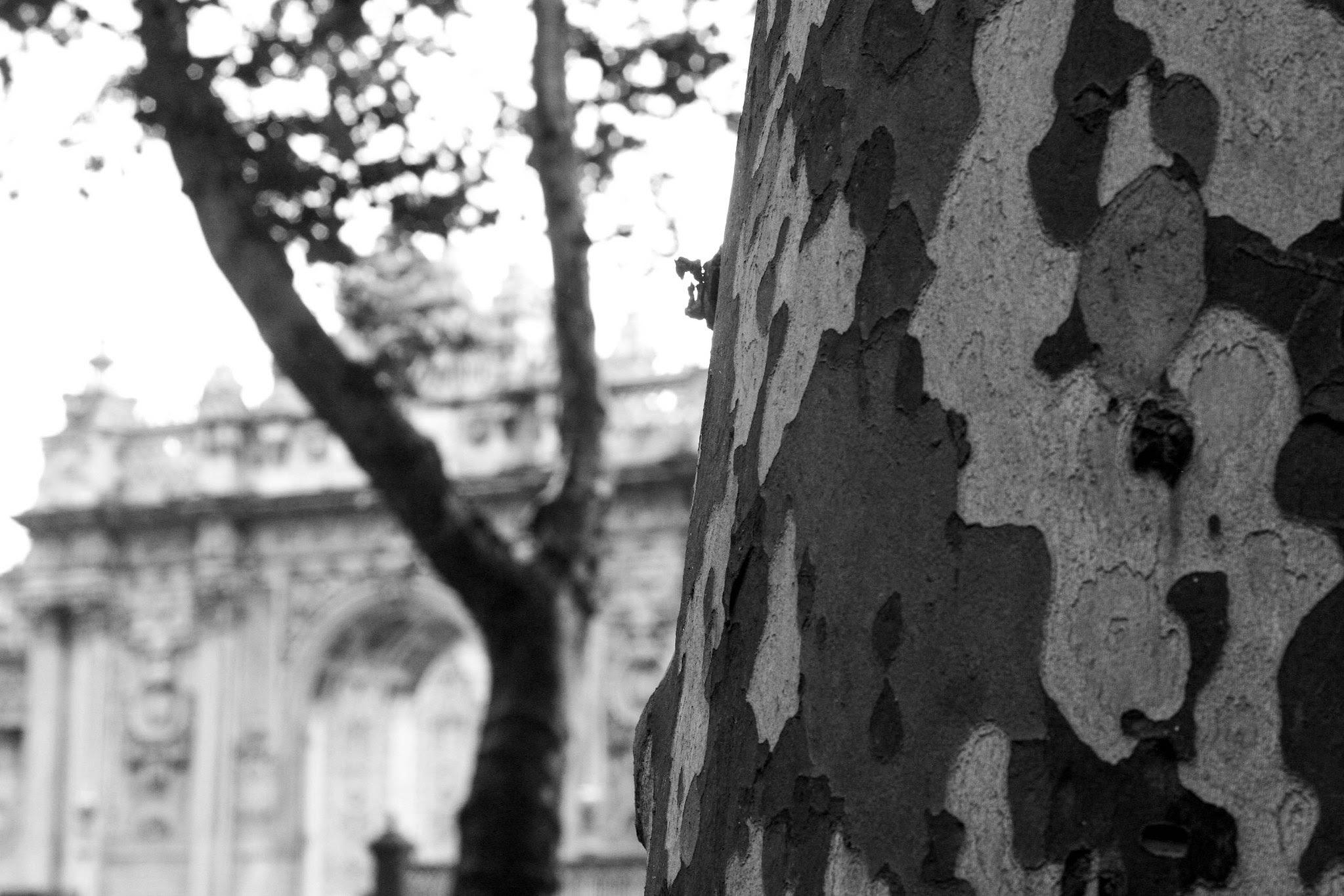 Plane trees on Dolmabahçe Caddesi