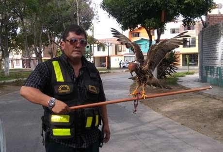 El ave fue trasladada al Parque de las Leyendas Foto: Municipalidad de Bellavista