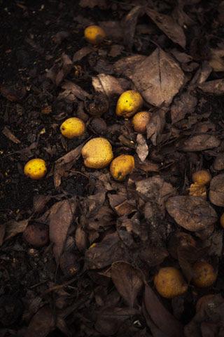 Pyrus 'pashia' windfall fruit