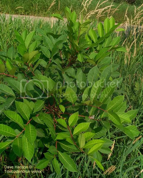 poison oak ivy sumac. Poison Ivy Poison Oak