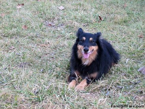 Lucky Buddy Bear, ace cattle dog (12) - FarmgirlFare.com