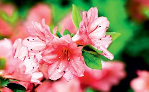 A azaleia é uma das espécies capazes de filtrar substâncias químicas do ambiente (Foto: Editora Globo)