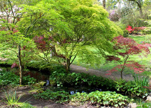 Japanese Maples Acers Acer Palmatum Trees Japanese Garden Design