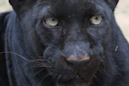 The jaguar who attacked a woman taking a selfie won't be put down